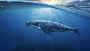 Analist, Bitcoin Balinalarının Amacını Açıkladı